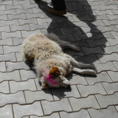 A dog coloured for Holi ©PDBarton